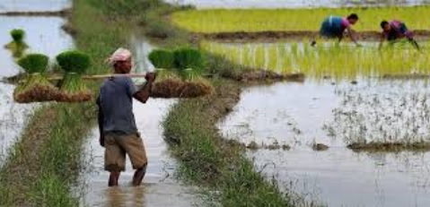 Agriculture Field in Assam